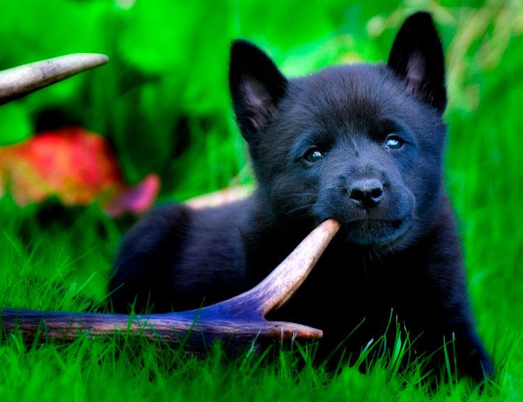 Норвежская лосиная лайка щенок