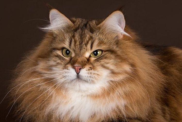 Сибирская кошка с кисточками на ушах