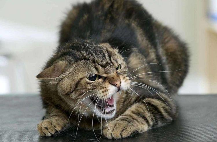 Злая кошка шипит