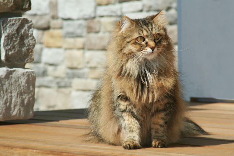 Пушистый домашний кот