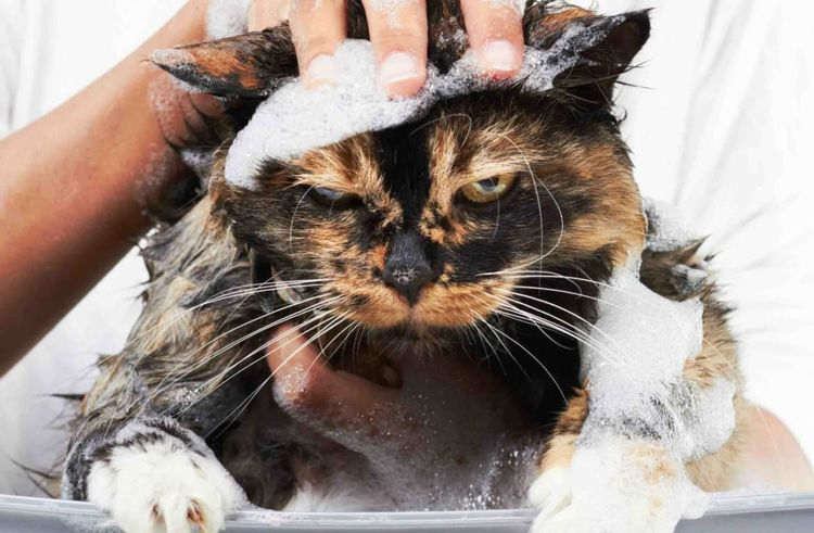 Недовольного кота купают