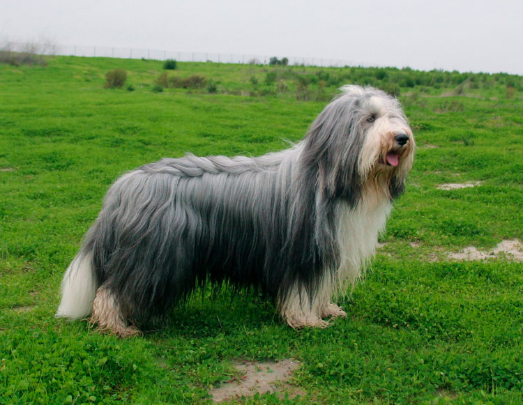 порода собак Бородатый колли