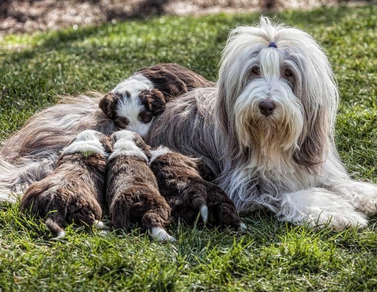 Бородатый колли со щенками