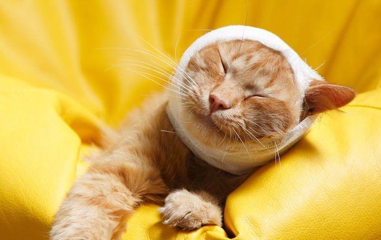 Некроз ушной раковины у кота