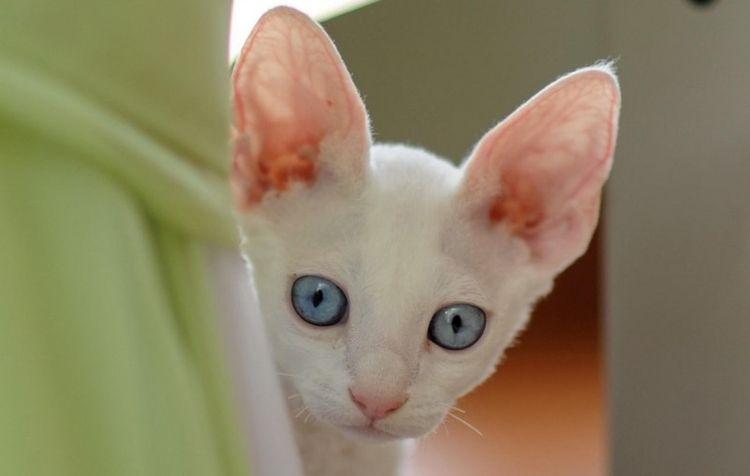 Белый кот с большими ушами