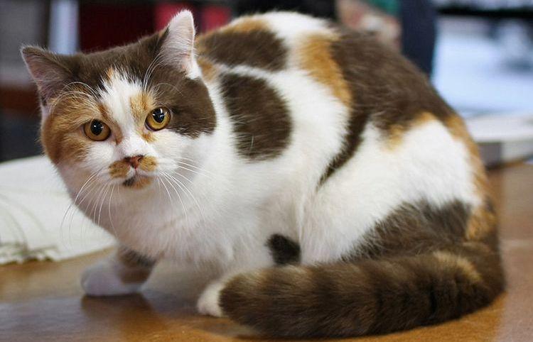 Список кличек для трехцветных кошек