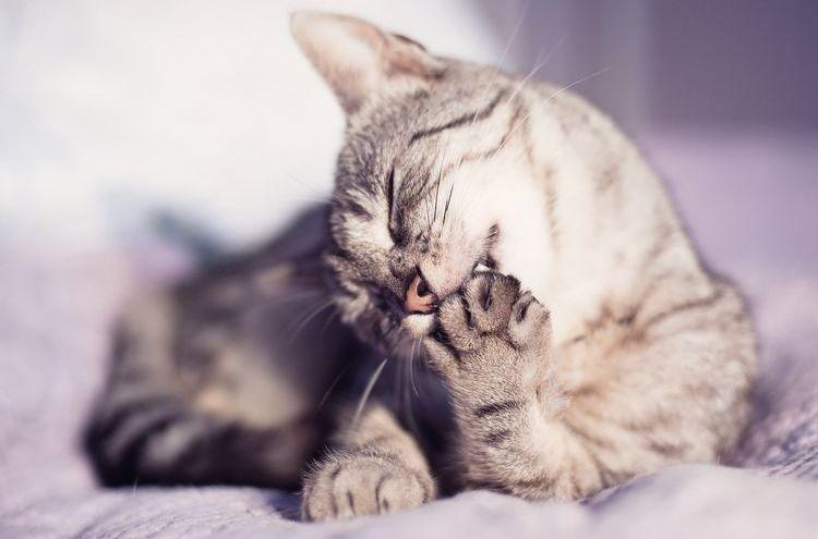 Кот вылизывает лапу