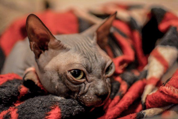 Мастопатия у кошки