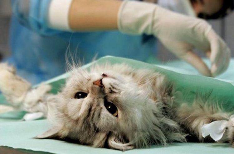 Оперирование кошки