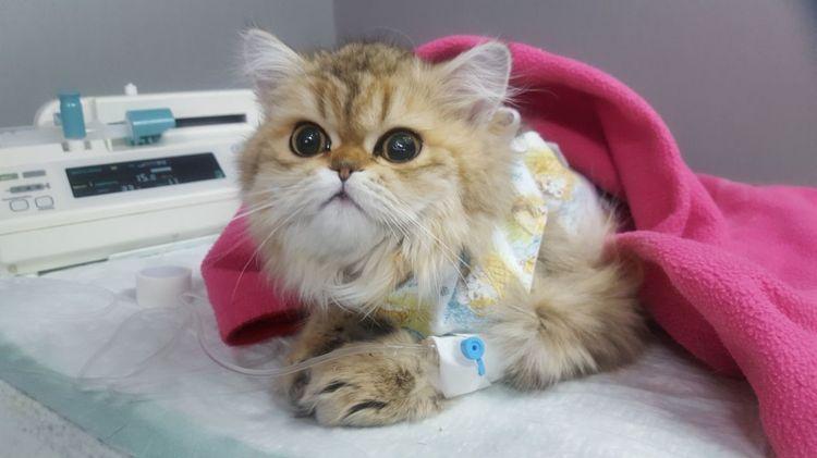Стерилизация кошки при мастопатии
