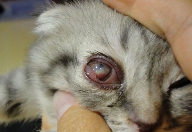 Панофтальмит у кота