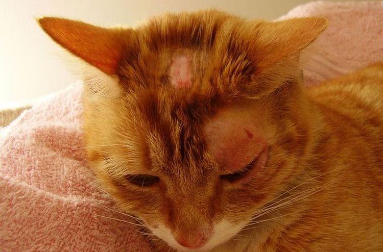 Струпья на голове кота