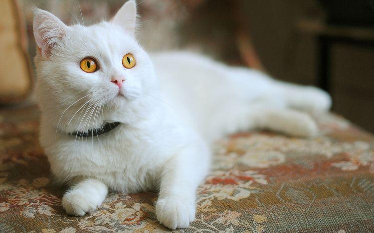 Белая кошка с желтыми глазами