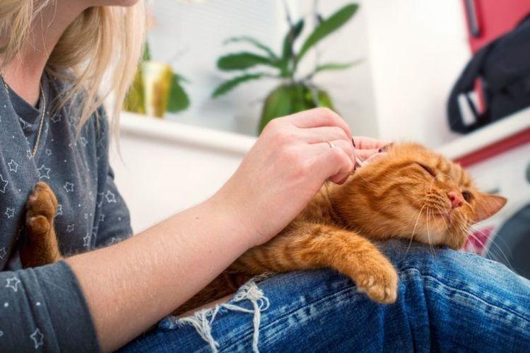 Рыжему коту чистят уши