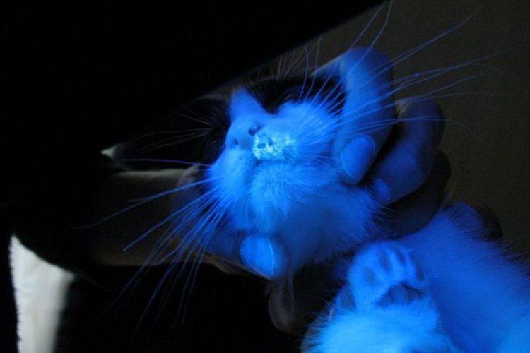 Кошка под УФ-лампой