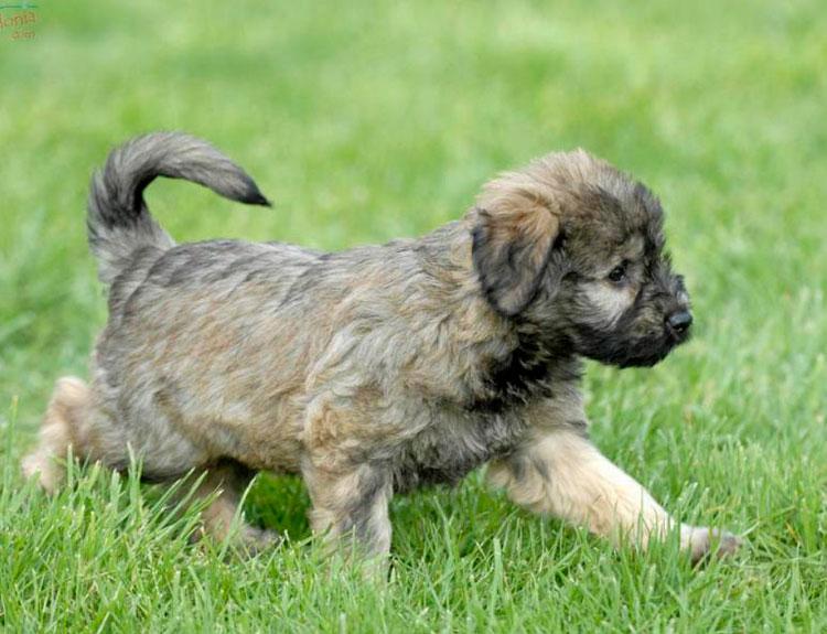 Каталонская овчарка щенок