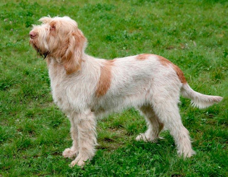 собака породы спиноне