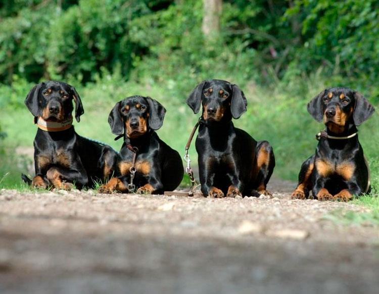 четыре австрийских гончих