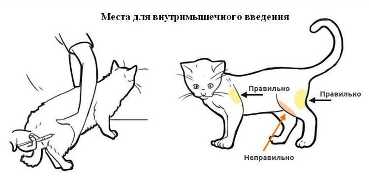 Места, куда можно ставить внутримышечный укол коту