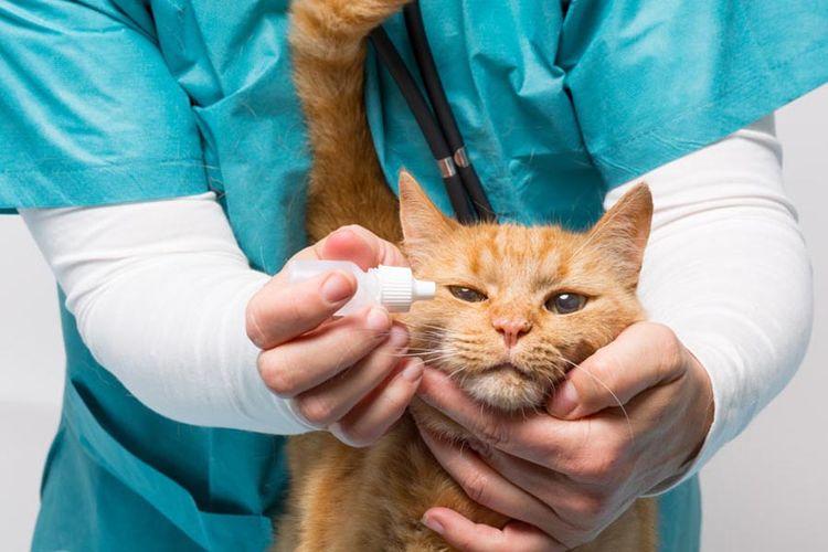 Коту капают капли в глаза