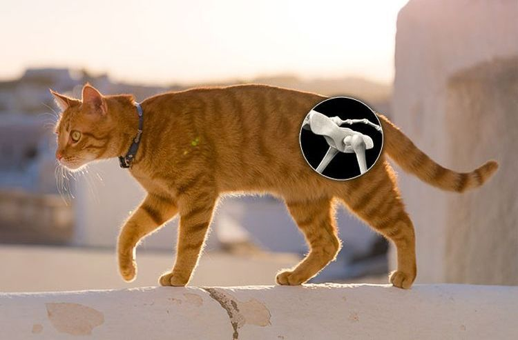 Кот хромает на заднюю лапу