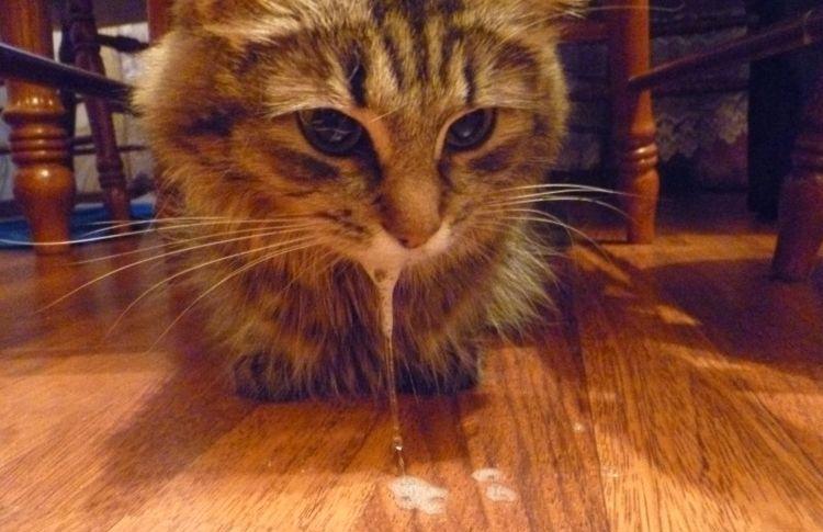 Пена изо рта кошки