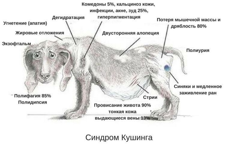 Симптомі синдрома Кушинга у собак