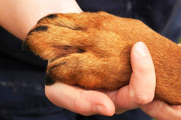 У собаки болит лапа после укола