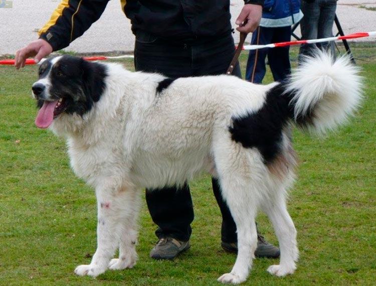 болгарская овчарка куче на выставке