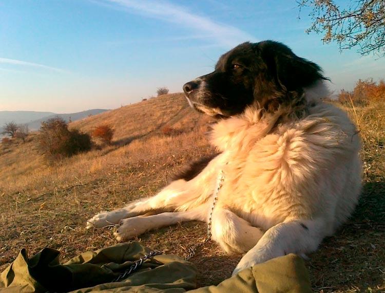 болгарская овчарка на выпасе