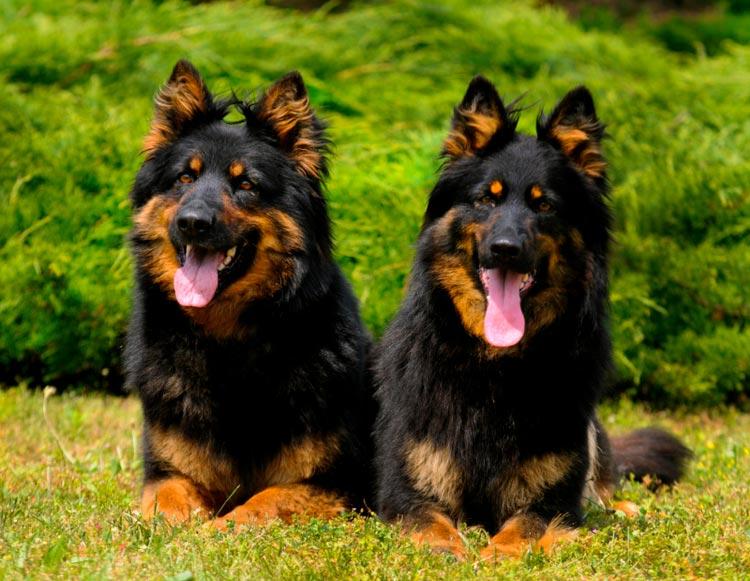 две чешские овчарки