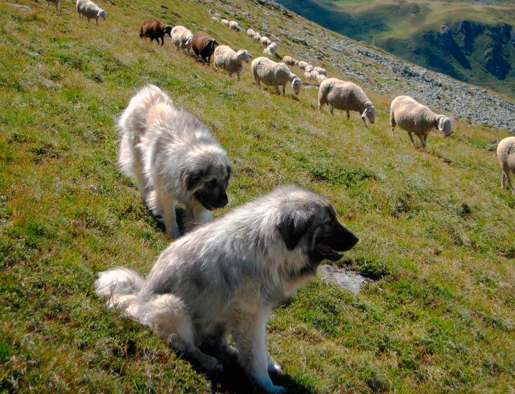 шарпланинские овчарки пасут овец