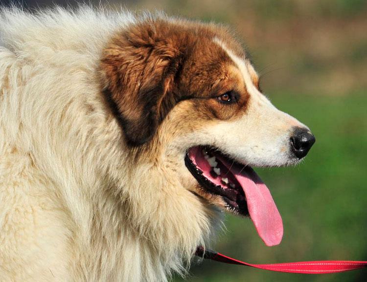 собака породы Торньяк