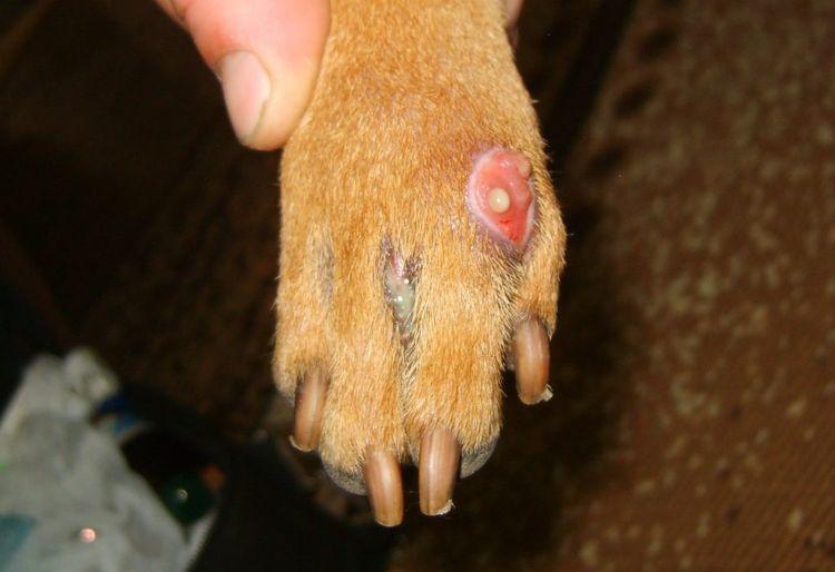 Абсцесс на лапе собаки