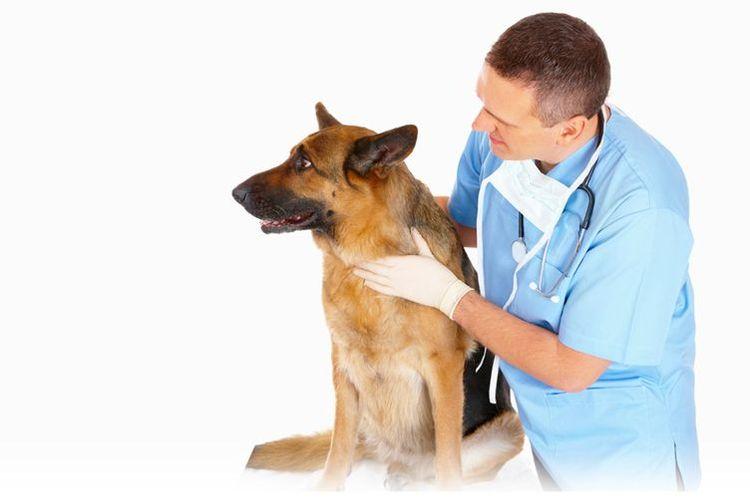 Овчарка у ветеринара