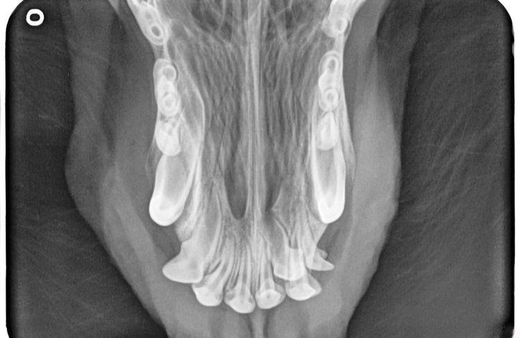 Рентгенограмма резцов верхней челюсти собаки при флюсе