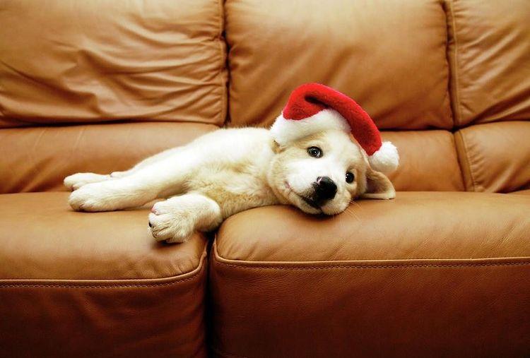 Щенок лежит на диване