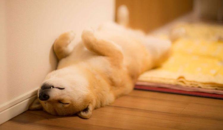 Собака потеряла сознание