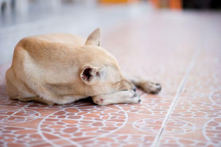 Шишки на задних лапах у собаки
