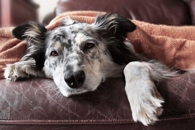 Стафилококк у собаки
