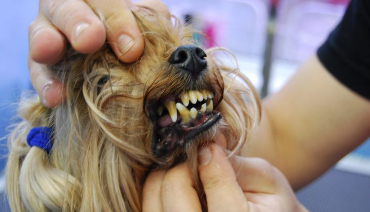 Осмотр пасти собаки перед ультразвуковой чисткой