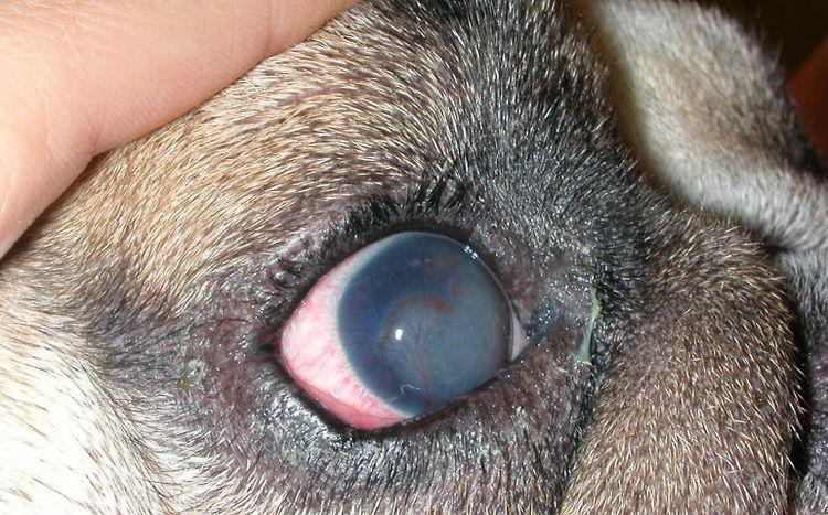 Сосудистый кератит у собаки