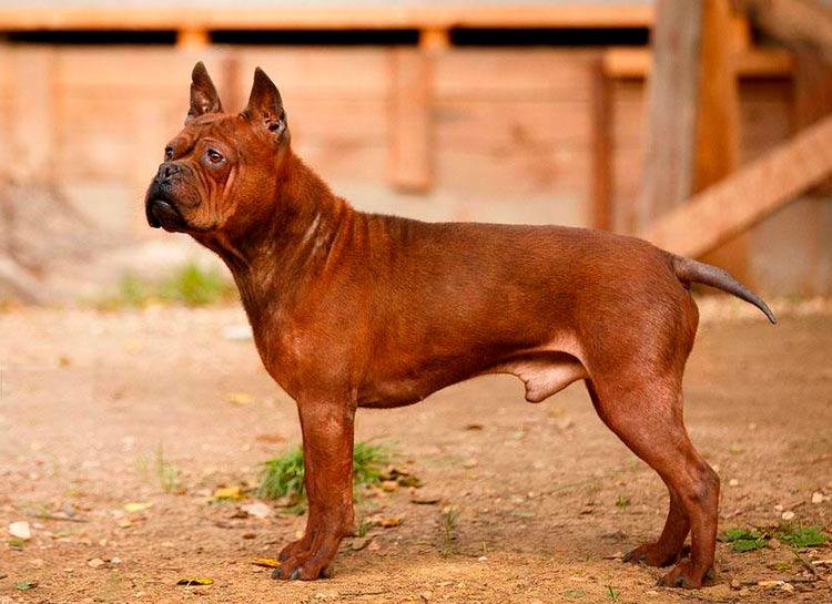 Китайские породы собак чунцин