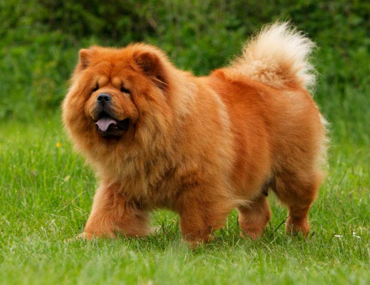 Китайские породы собак чау-чау