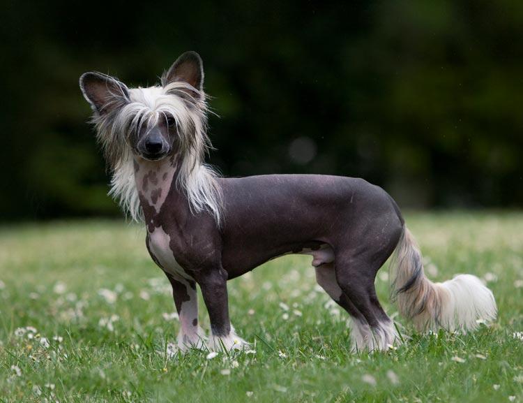 Китайские породы собак голая хохлатая