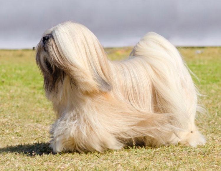 Китайские породы собак лхаса апсо