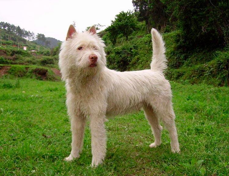 Китайские породы собак сасы цуань
