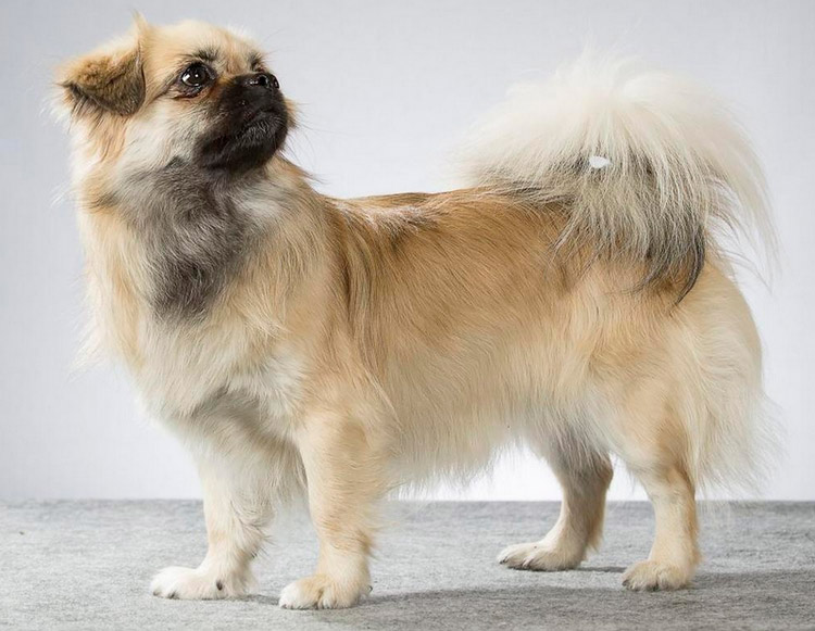 Китайские породы собак тибетский спаниель