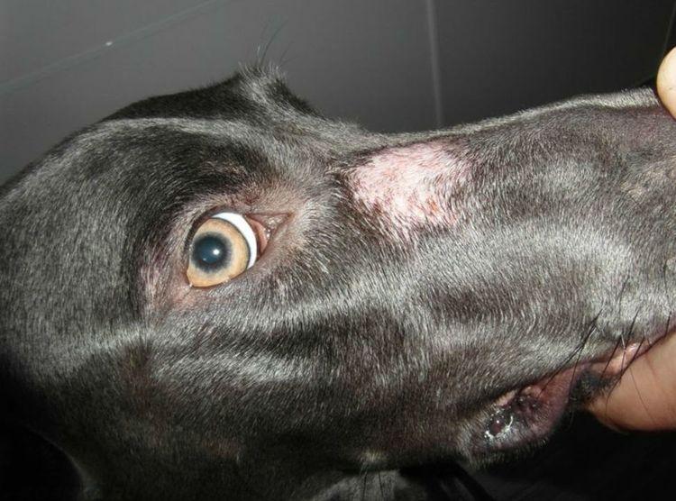 Микроспория на морде собаки