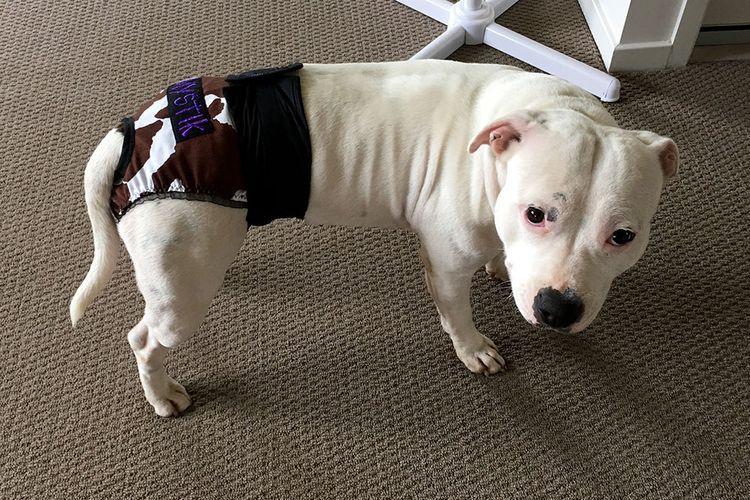 Собака в памперсе